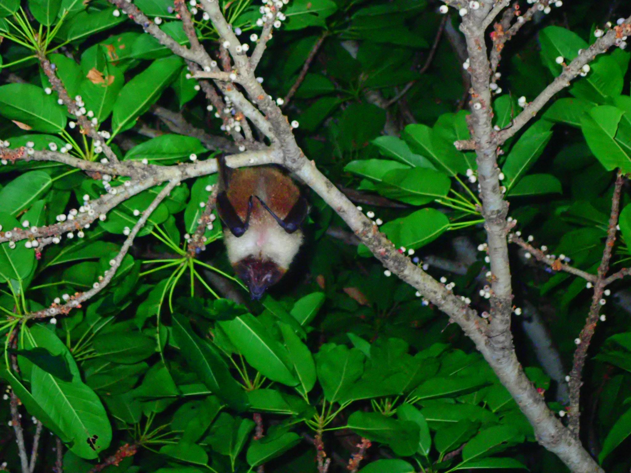 石垣島に生息するリュウキュウオオコウモリ